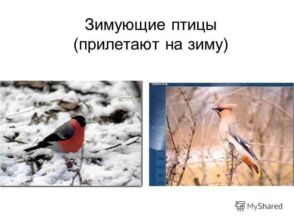 Зимующие птицы (прилетают на зиму)