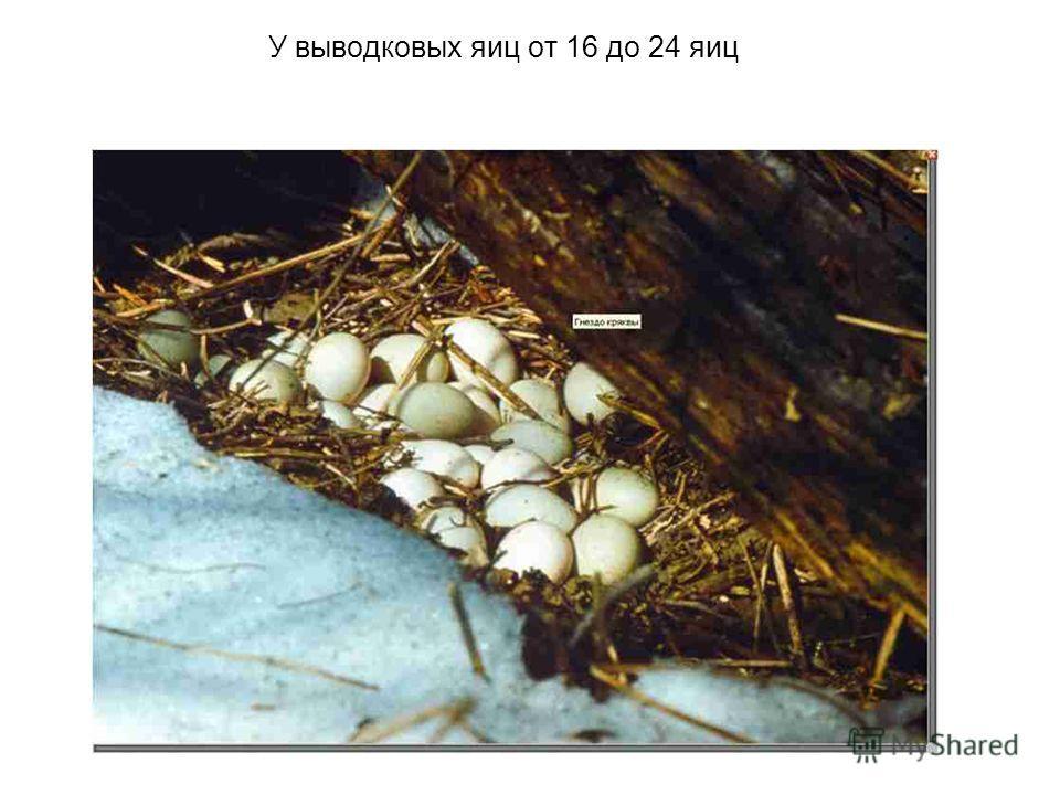 У выводковых яиц от 16 до 24 яиц