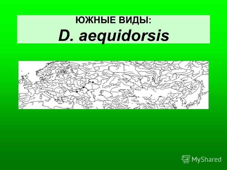 ЮЖНЫЕ ВИДЫ: D. aequidorsis
