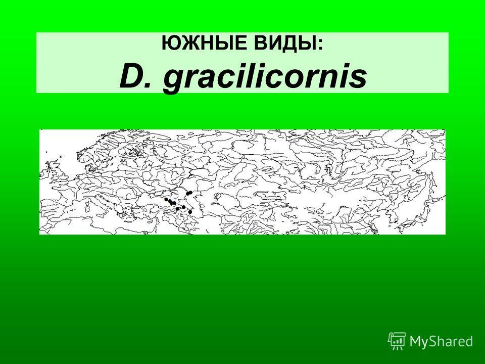 ЮЖНЫЕ ВИДЫ: D. gracilicornis