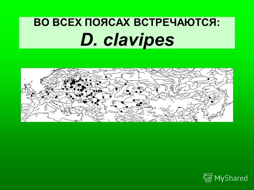 ВО ВСЕХ ПОЯСАХ ВСТРЕЧАЮТСЯ: D. clavipes