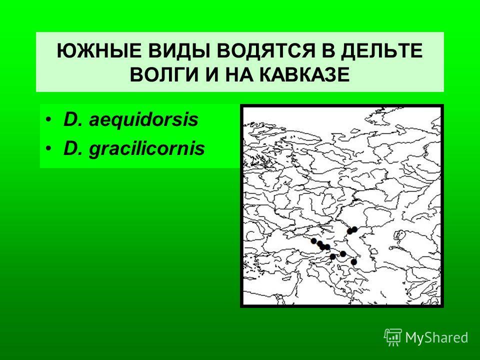 ЮЖНЫЕ ВИДЫ ВОДЯТСЯ В ДЕЛЬТЕ ВОЛГИ И НА КАВКАЗЕ D. aequidorsis D. gracilicornis