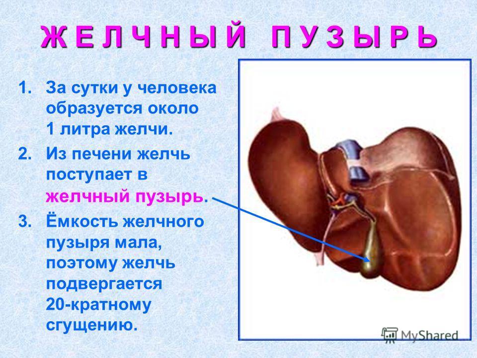 Ж Е Л Ч Н Ы Й П У З Ы Р Ь 1.За сутки у человека образуется около 1 литра желчи. 2.Из печени желчь поступает в желчный пузырь. 3.Ёмкость желчного пузыря мала, поэтому желчь подвергается 20-кратному сгущению.