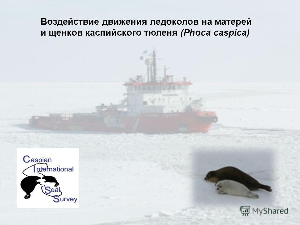 Воздействие движения ледоколов на матерей и щенков каспийского тюленя (Phoca caspica)