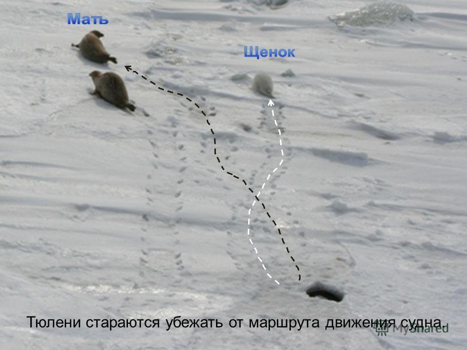 Тюлени стараются убежать от маршрута движения судна.