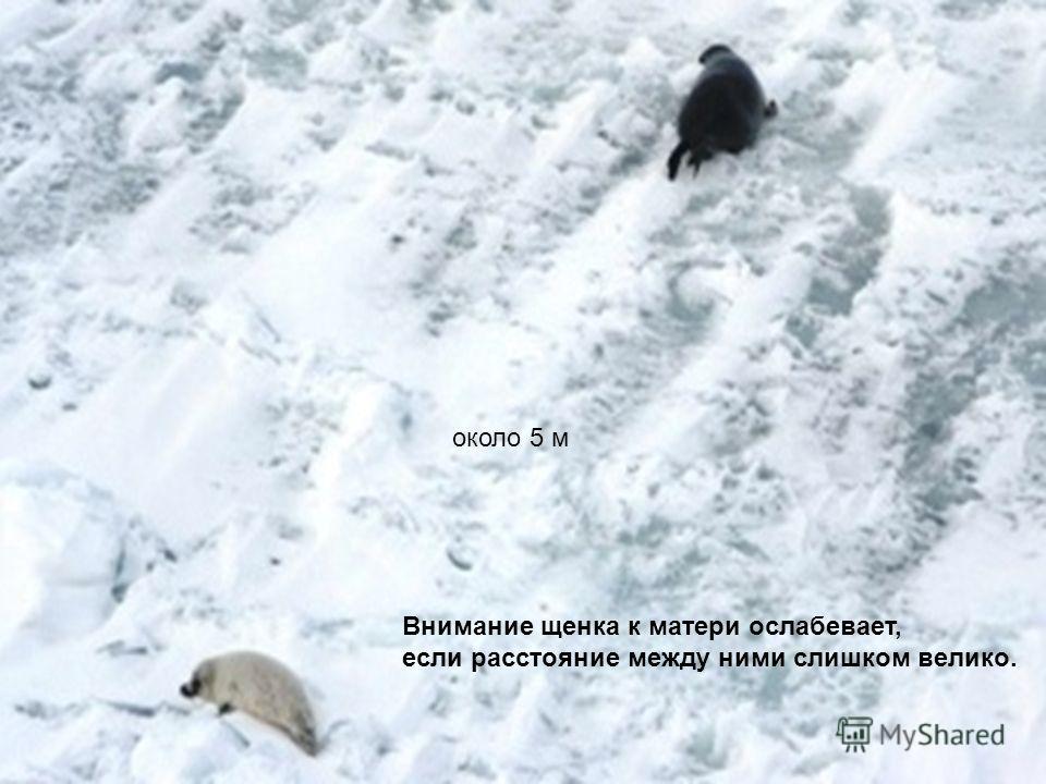 около 5 м Внимание щенка к матери ослабевает, если расстояние между ними слишком велико.