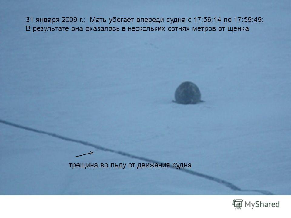 31 января 2009 г.: Мать убегает впереди судна с 17:56:14 по 17:59:49; В результате она оказалась в нескольких сотнях метров от щенка трещина во льду от движения судна