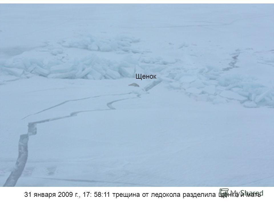 31 января 2009 г., 17: 58:11 трещина от ледокола разделила щенка и мать Щенок
