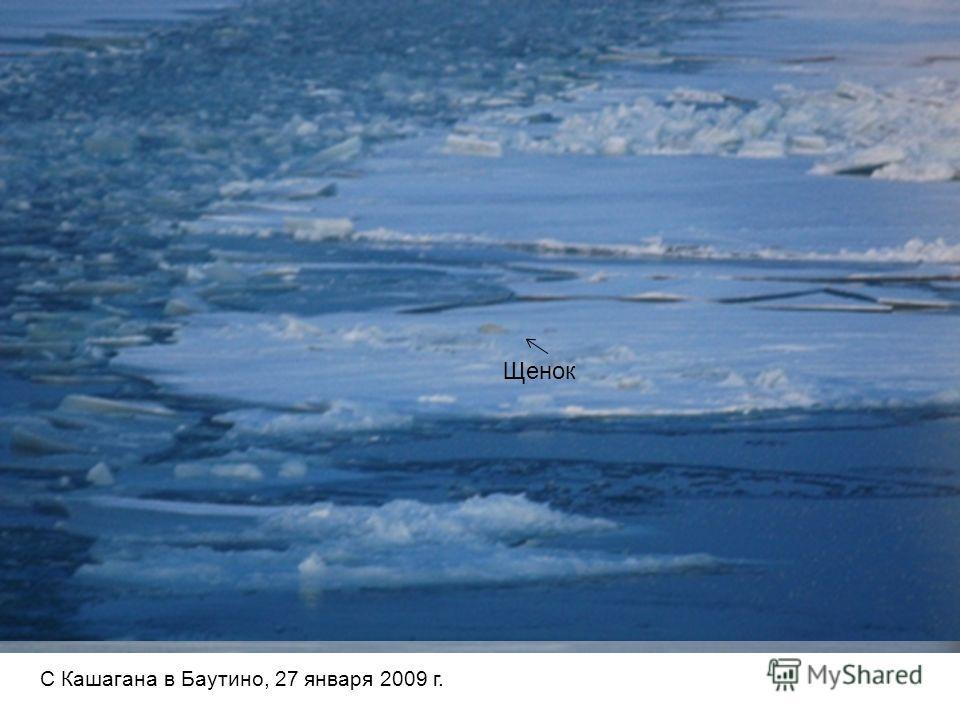 Группа из ок. 16 тюленей Приближение судна С Кашагана в Баутино, 27 января 2009 г. Щенок