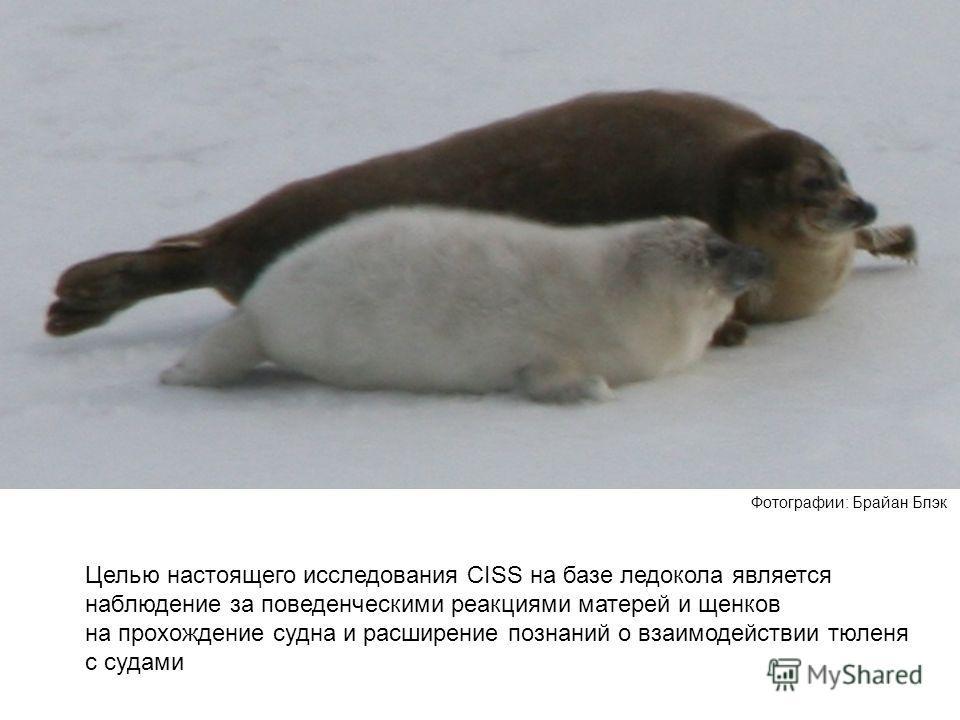 Целью настоящего исследования CISS на базе ледокола является наблюдение за поведенческими реакциями матерей и щенков на прохождение судна и расширение познаний о взаимодействии тюленя с судами Фотографии: Брайан Блэк
