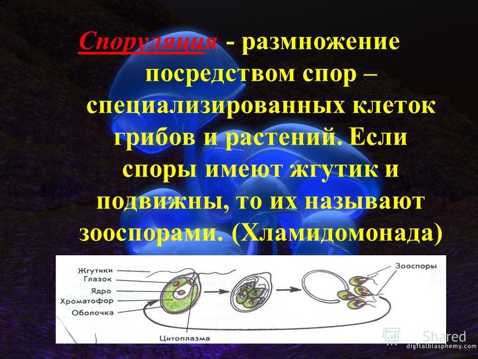 Споруляция - размножение посредством спор – специализированных клеток грибов и растений. Если споры имеют жгутик и подвижны, то их называют зооспорами. (Хламидомонада)