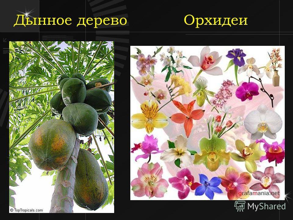 Дынное дерево Орхидеи