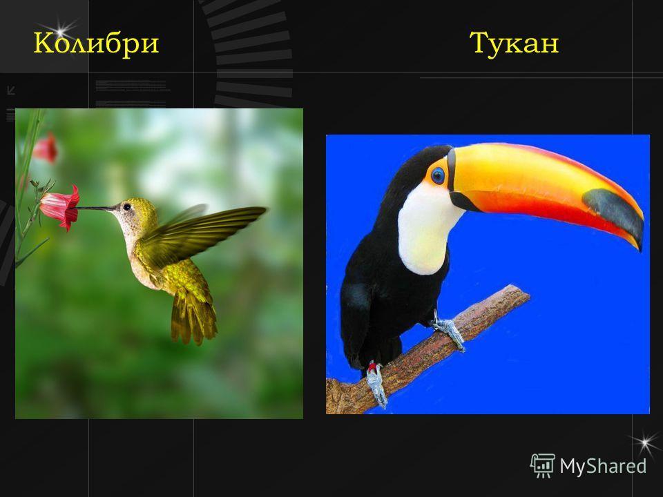 Колибри Тукан