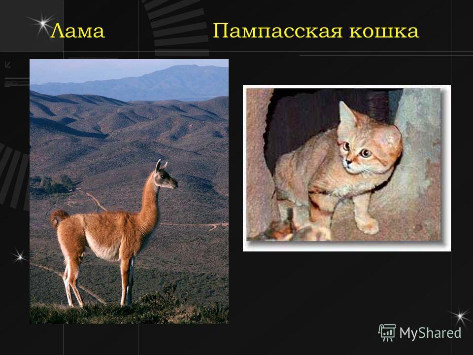 Лама Пампасская кошка