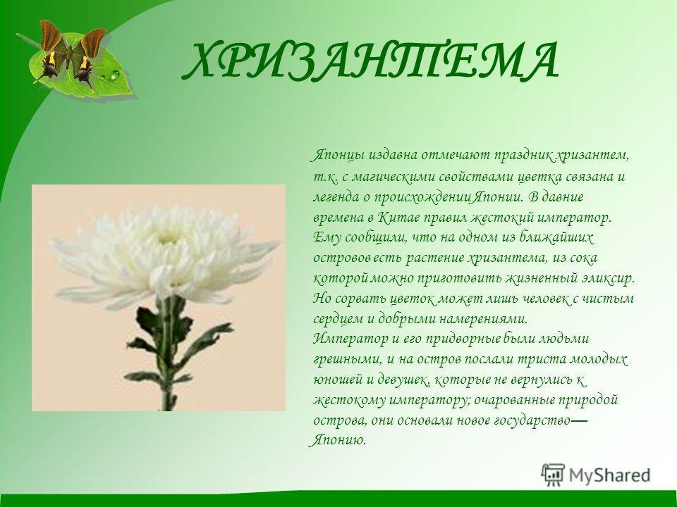 ХРИЗАНТЕМА Японцы издавна отмечают праздник хризантем, т.к. с магическими свойствами цветка связана и легенда о происхождении Японии. В давние времена в Китае правил жестокий император. Ему сообщили, что на одном из ближайших островов есть растение х