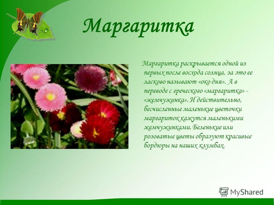 Маргаритка Маргаритка раскрывается одной из первых после восхода солнца, за это ее ласково называют «око дня». А в переводе с греческого «маргаритка» - «жемчужинка». И действительно, бесчисленные маленькие цветочки маргариток кажутся маленькими жемчу