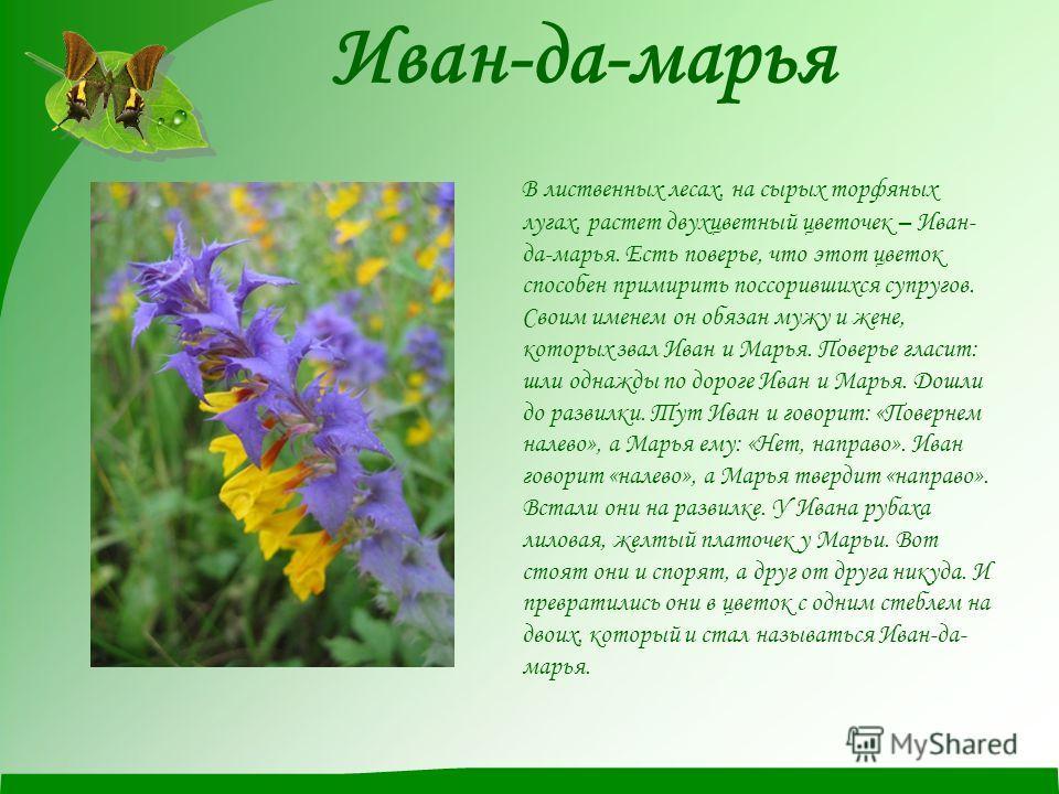 Иван-да-марья В лиственных лесах, на сырых торфяных лугах, растет двухцветный цветочек – Иван- да-марья. Есть поверье, что этот цветок способен примирить поссорившихся супругов. Своим именем он обязан мужу и жене, которых звал Иван и Марья. Поверье г