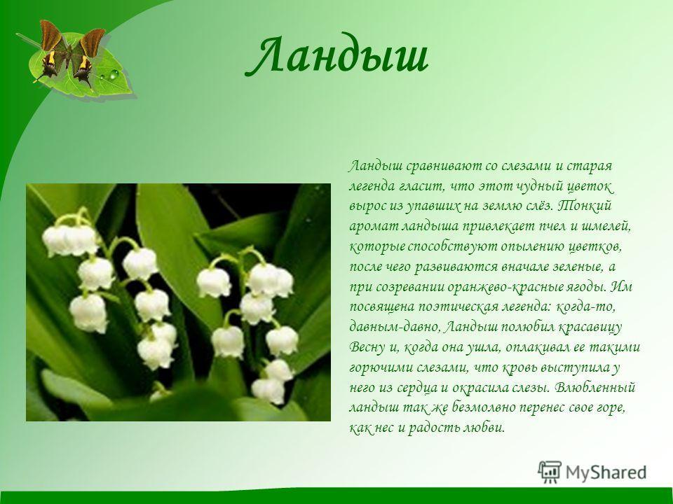 Ландыш Ландыш сравнивают со слезами и старая легенда гласит, что этот чудный цветок вырос из упавших на землю слёз. Тонкий аромат ландыша привлекает пчел и шмелей, которые способствуют опылению цветков, после чего развиваются вначале зеленые, а при с