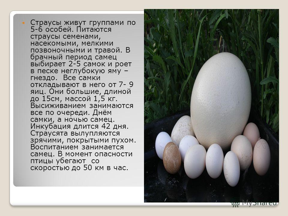 Страусы живут группами по 5-6 особей. Питаются страусы семенами, насекомыми, мелкими позвоночными и травой. В брачный период самец выбирает 2-5 самок и роет в песке неглубокую яму – гнездо. Все самки откладывают в него от 7- 9 яиц. Они большие, длино