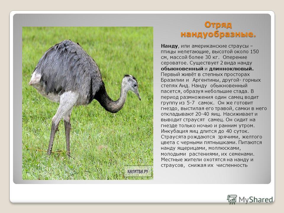 Отряд нандуобразные. Нанду, или американские страусы – птицы нелетающие, высотой около 150 см, массой более 30 кг. Оперение сероватое. Существует 2 вида нанду обыкновенный и длинноклювый. Первый живёт в степных просторах Бразилии и Аргентины, другой-