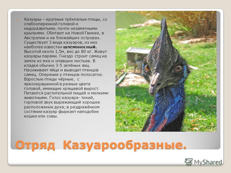 Отряд Казуарообразные. Казуары – крупные трёхпалые птицы, со слабооперенной головой и недоразвитыми, почти незаметными крыльями. Обитают на Новой Гвинее, в Австралии и на ближайших островах. Существует 3 вида казуаров, из них наиболее известен шлемон