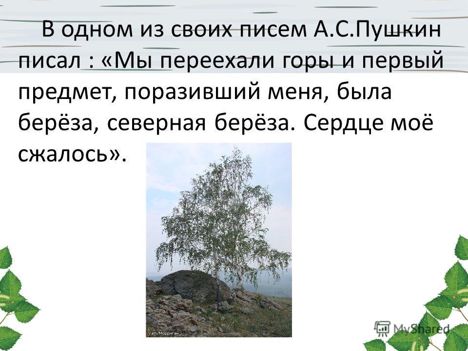 В одном из своих писем А.С.Пушкин писал : «Мы переехали горы и первый предмет, поразивший меня, была берёза, северная берёза. Сердце моё сжалось».
