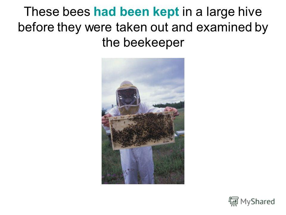 These bees had been kept in a large hive before they were taken out and examined by the beekeeper