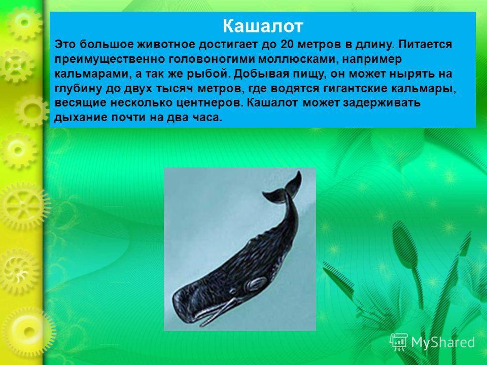 Кашалот Это большое животное достигает до 20 метров в длину. Питается преимущественно головоногими моллюсками, например кальмарами, а так же рыбой. Добывая пищу, он может нырять на глубину до двух тысяч метров, где водятся гигантские кальмары, весящи