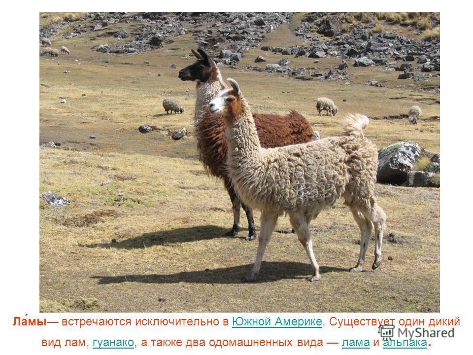 Ла́мы встречаются исключительно в Южной Америке. Существует один дикий вид лам, гуанако, а также два одомашненных вида лама и альпака.Южной Америкегуанаколамаальпака