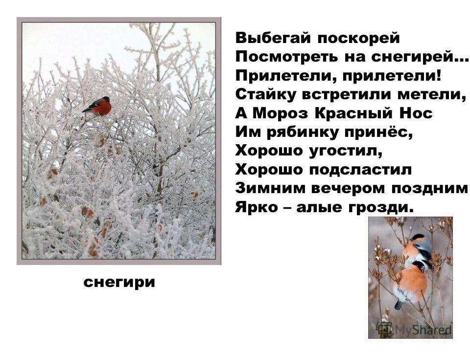 Выбегай поскорей Посмотреть на снегирей… Прилетели, прилетели! Стайку встретили метели, - А Мороз Красный Нос Им рябинку принёс, Хорошо угостил, Хорошо подсластил Зимним вечером поздним Ярко – алые грозди. снегири
