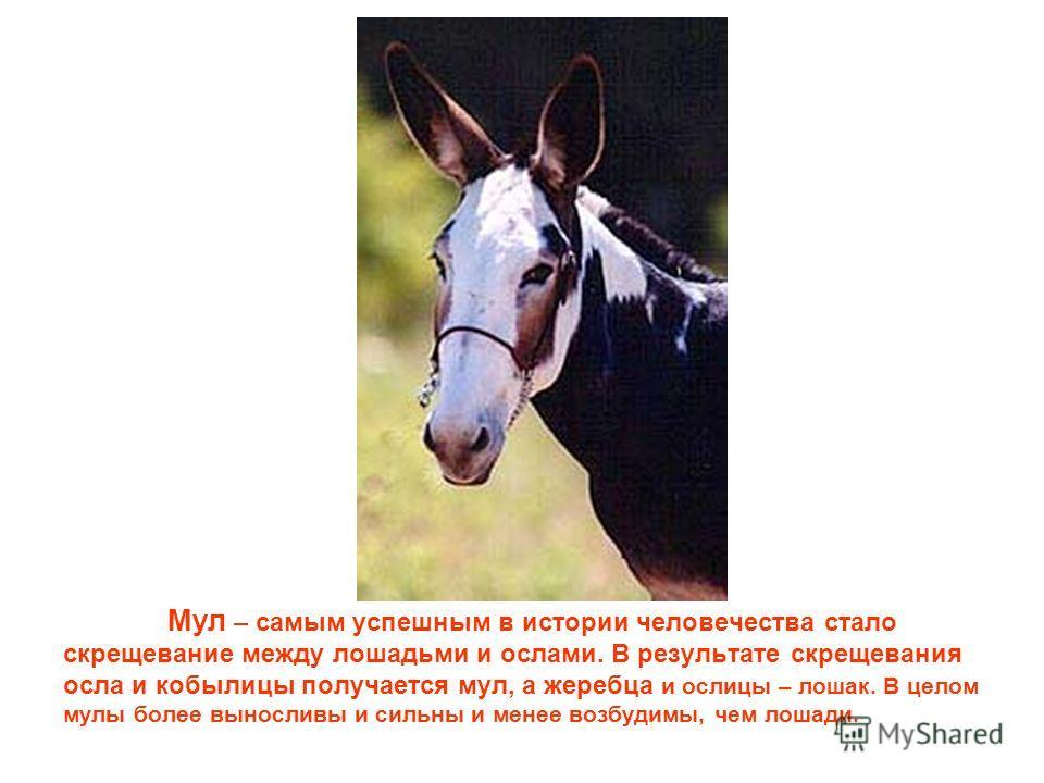 Мул – самым успешным в истории человечества стало скрещевание между лошадьми и ослами. В результате скрещевания осла и кобылицы получается мул, а жеребца и ослицы – лошак. В целом мулы более выносливы и сильны и менее возбудимы, чем лошади.