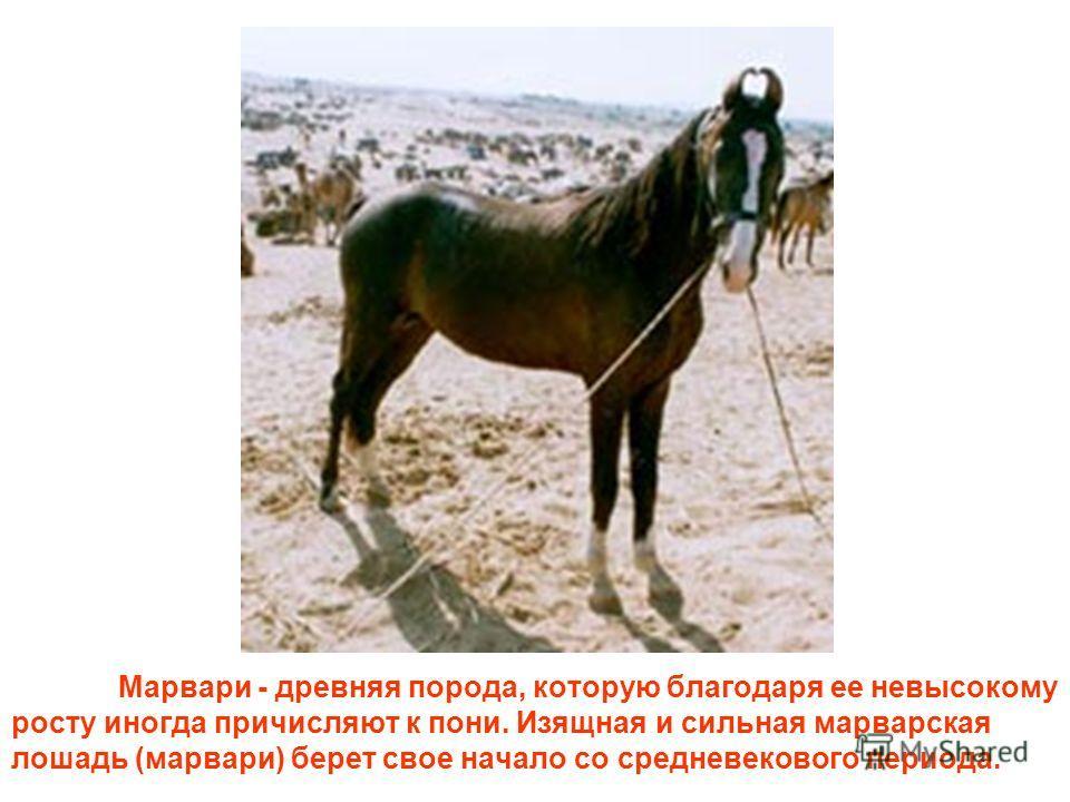 Марвари - древняя порода, которую благодаря ее невысокому росту иногда причисляют к пони. Изящная и сильная марварская лошадь (марвари) берет свое начало со средневекового периода.