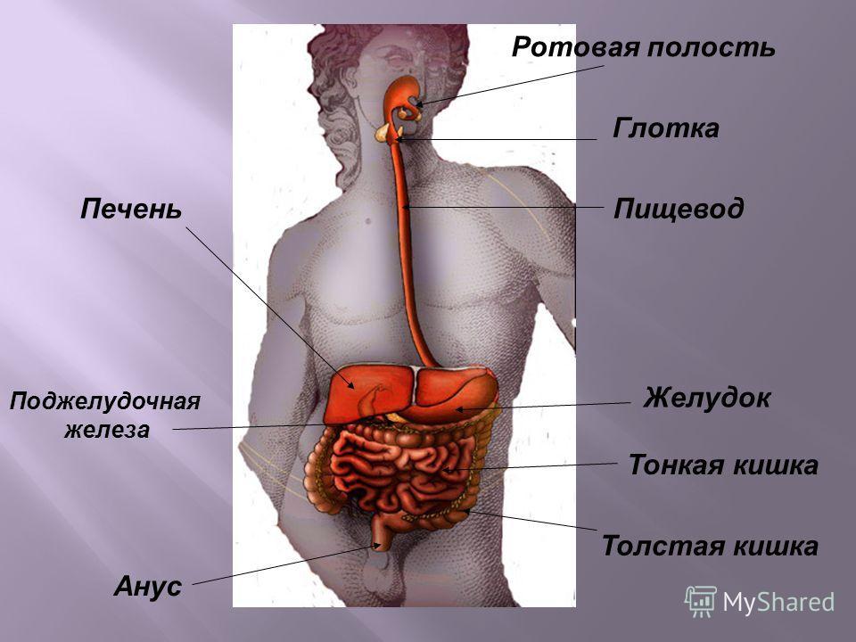 Ротовая полость Глотка Пищевод Желудок Тонкая кишка Толстая кишка Анус Печень Поджелудочная железа