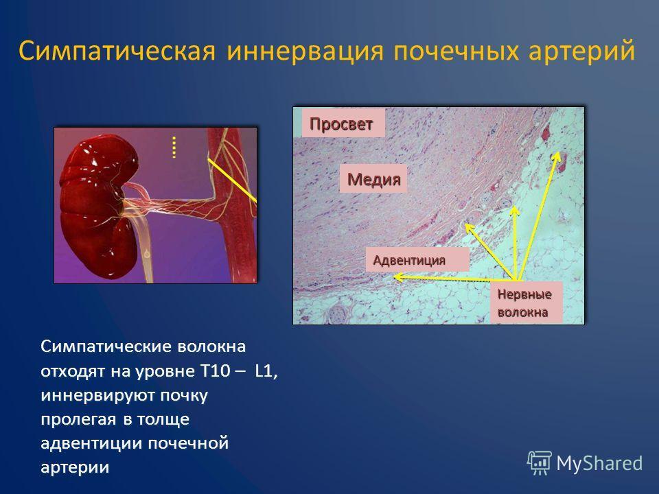 Симпатическая иннервация почечных артерий Симпатические волокна отходят на уровне T10 – L1, иннервируют почку пролегая в толще адвентиции почечной артерии Просвет Медия Адвентиция Нервные волокна
