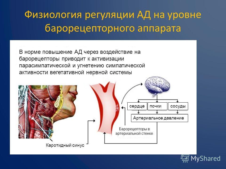 Физиология регуляции АД на уровне барорецепторного аппарата В норме повышение АД через воздействие на барорецепторы приводит к активизации парасимпатической и угнетению симпатической активности вегетативной нервной системы Каротидный синус Барорецепт