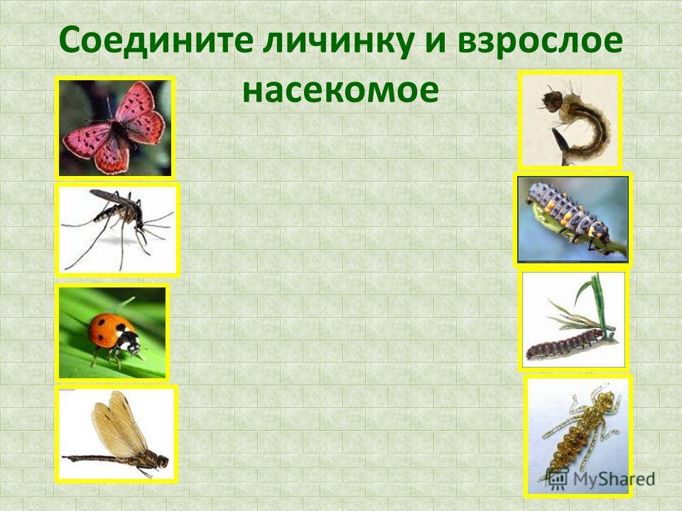 Соедините личинку и взрослое насекомое