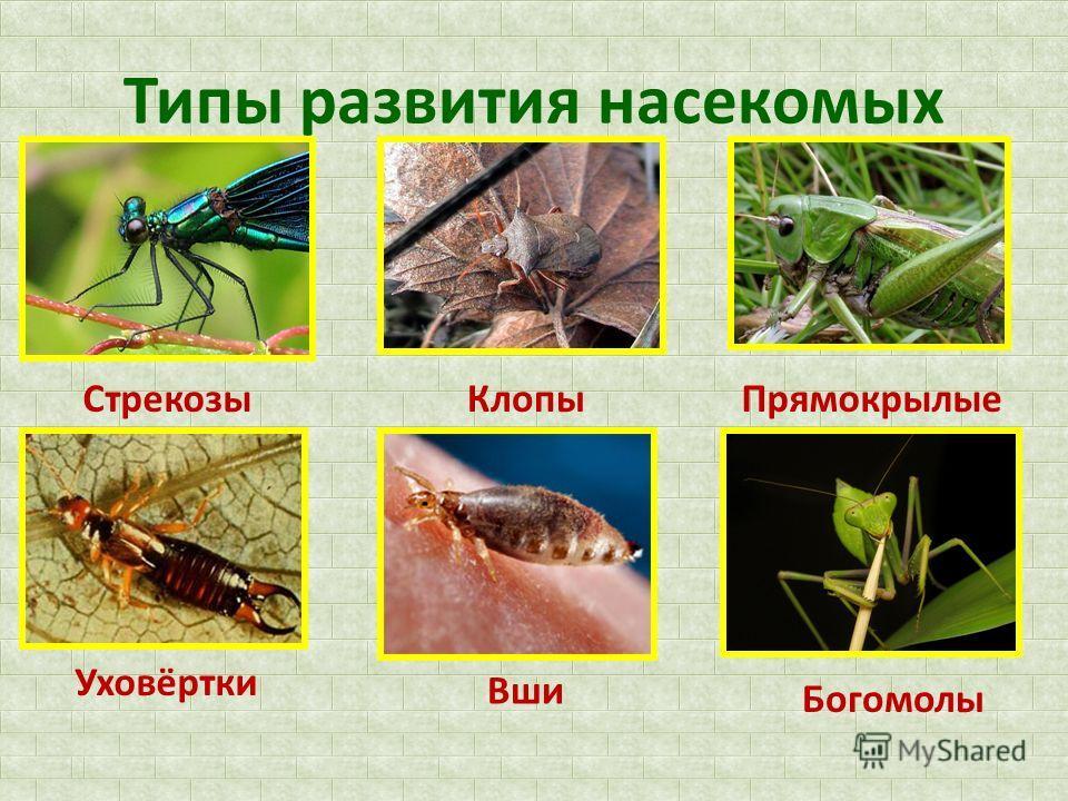 Типы развития насекомых СтрекозыКлопыПрямокрылые Уховёртки Вши Богомолы