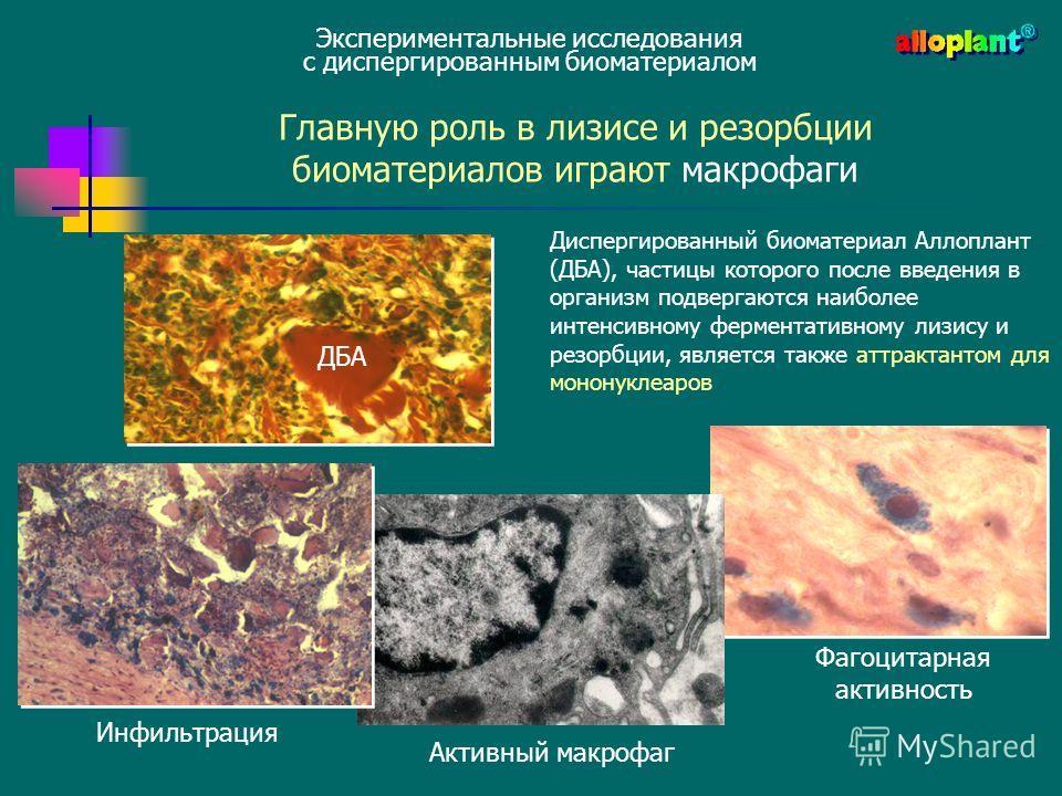 Диспергированный биоматериал Аллоплант (ДБА), частицы которого после введения в организм подвергаются наиболее интенсивному ферментативному лизису и резорбции, является также аттрактантом для мононуклеаров ДБА Главную роль в лизисе и резорбции биомат