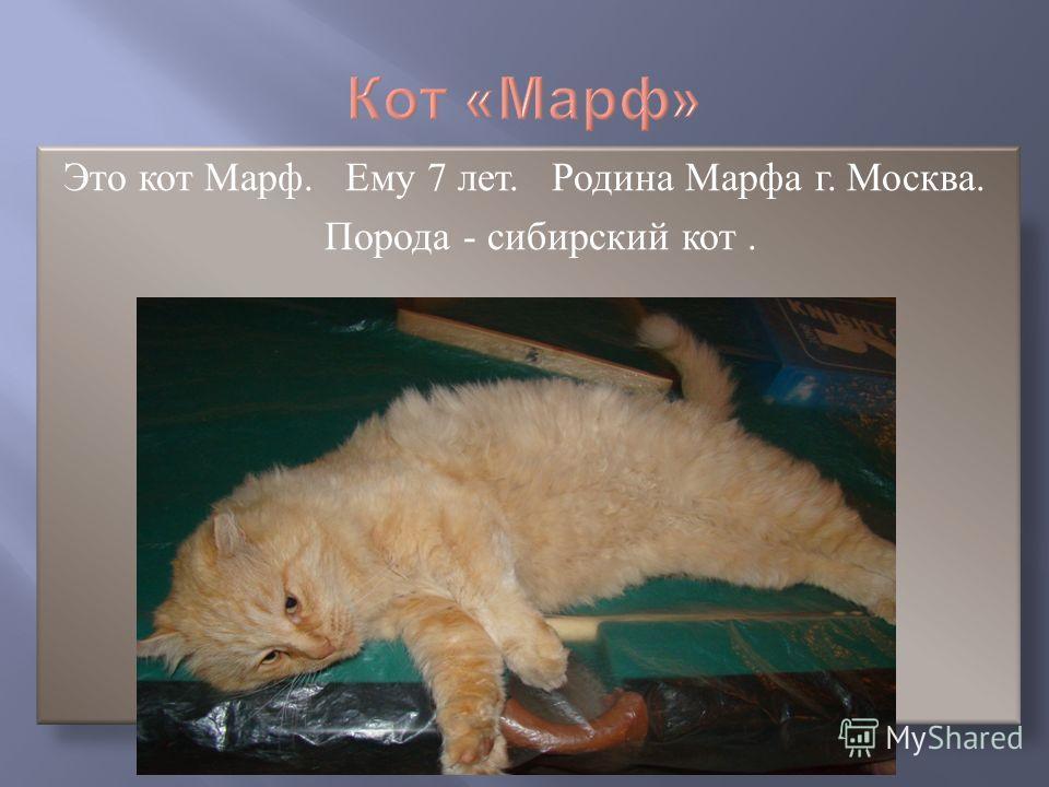 Это кот Марф. Ему 7 лет. Родина Марфа г. Москва. Порода - сибирский кот.