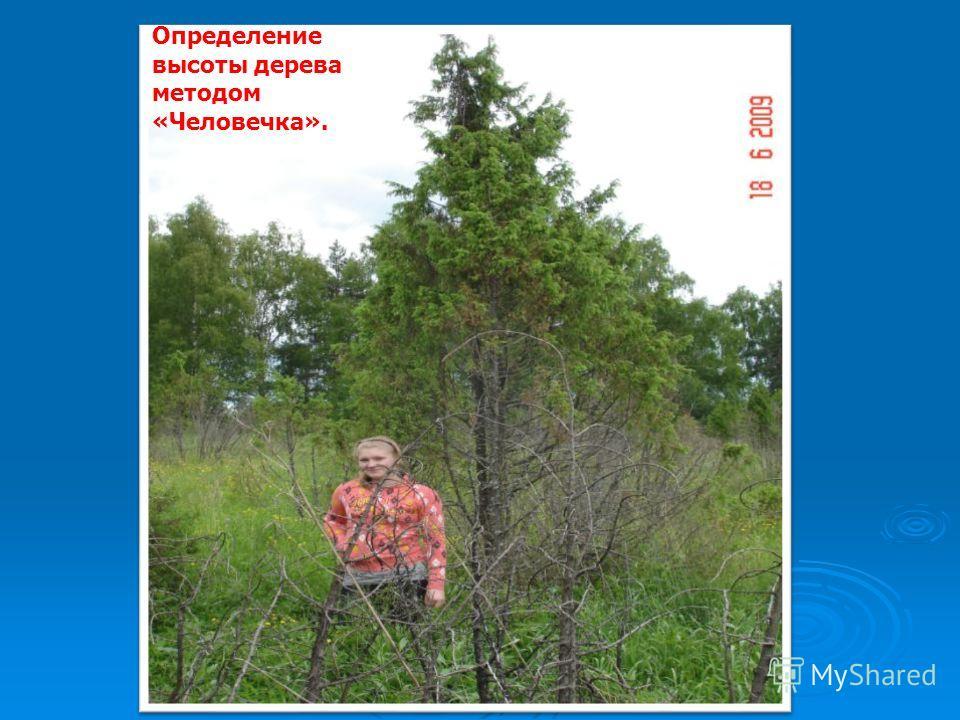 Определение высоты дерева методом «Человечка».