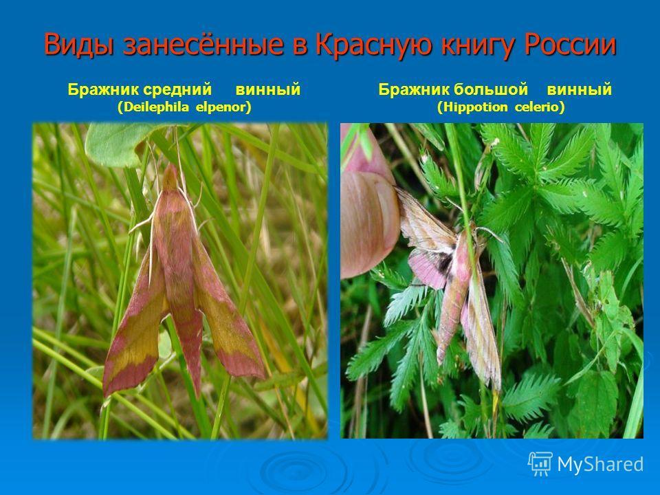 Виды занесённые в Красную книгу России Бражник средний винный (Deilephila elpenor) Бражник большой винный (Hippotion celerio)