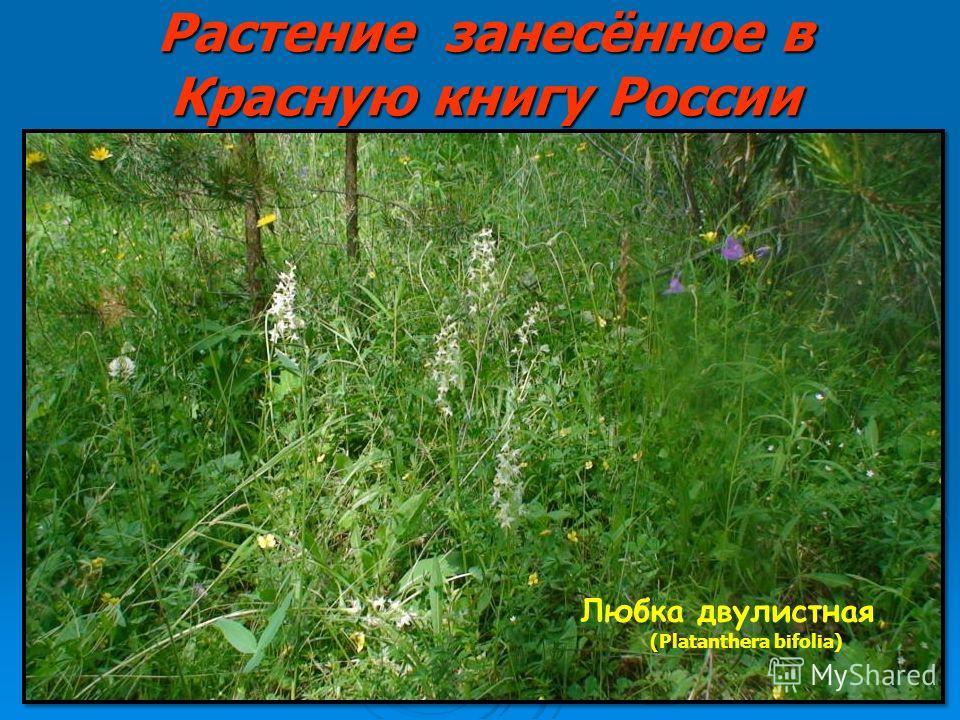 Растение занесённое в Красную книгу России Любка двулистная (Platanthera bifolia)