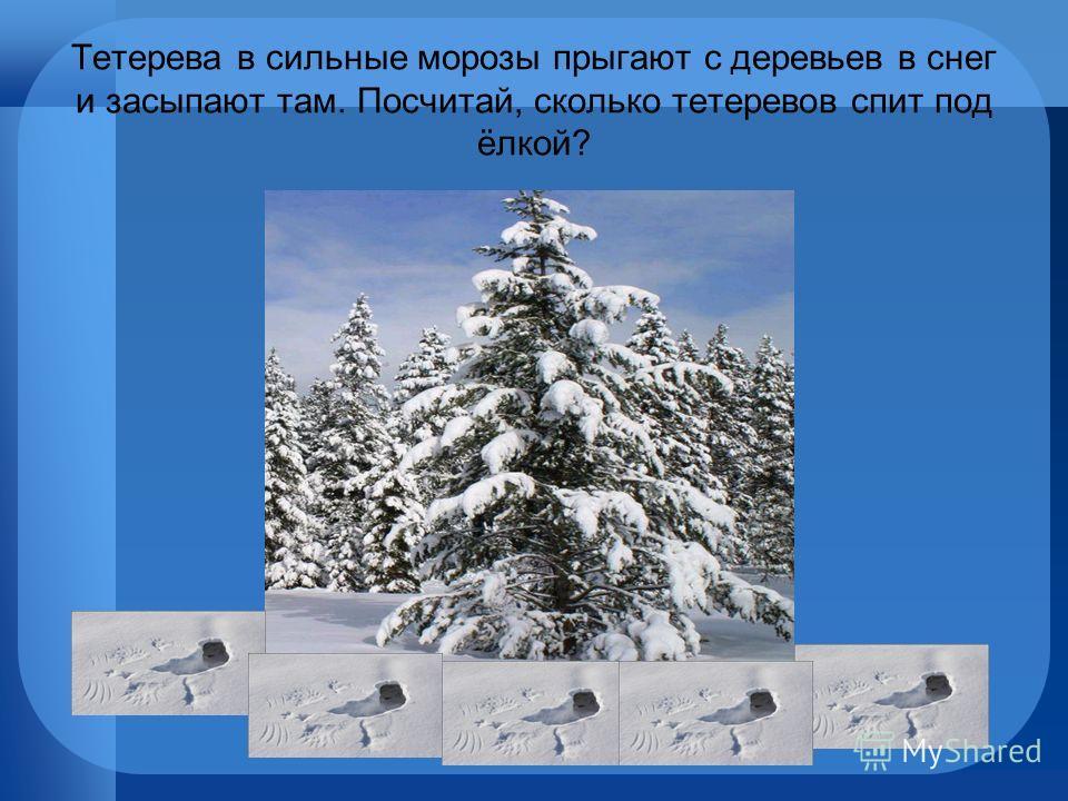 Тетерева в сильные морозы прыгают с деревьев в снег и засыпают там. Посчитай, сколько тетеревов спит под ёлкой?