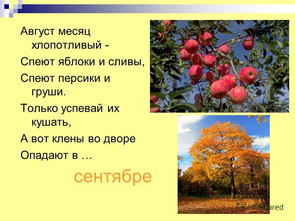 сентябре Август месяц хлопотливый - Спеют яблоки и сливы, Спеют персики и груши. Только успевай их кушать, А вот клены во дворе Опадают в …