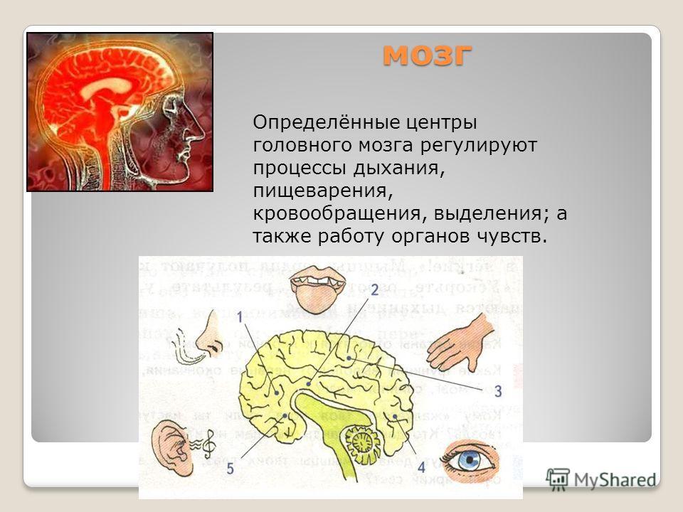 мозг мозг Определённые центры головного мозга регулируют процессы дыхания, пищеварения, кровообращения, выделения; а также работу органов чувств.