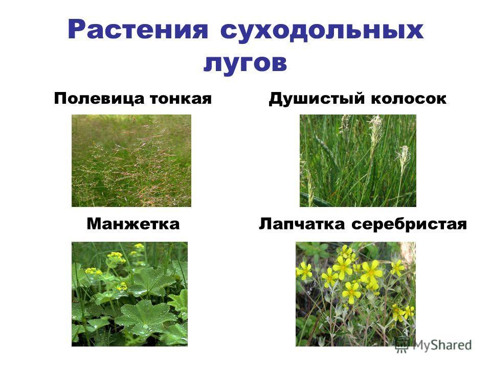 Растения суходольных лугов Полевица тонкаяДушистый колосок МанжеткаЛапчатка серебристая