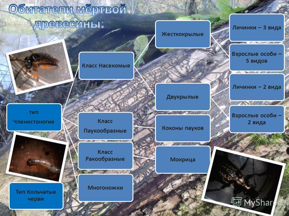 тип Членистоногие Класс НасекомыеЖесткокрылыеЛичинки – 3 вида Взрослые особи – 5 видов ДвукрылыеЛичинки – 2 вида Взрослые особи – 2 вида Класс Паукообразные Коконы пауков Класс Ракообразные МокрицаМногоножки Тип Кольчатые черви