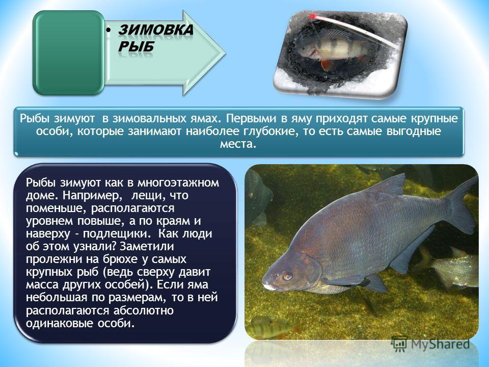Рыбы зимуют в зимовальных ямах. Первыми в яму приходят самые крупные особи, которые занимают наиболее глубокие, то есть самые выгодные места. Рыбы зимуют как в многоэтажном доме. Например, лещи, что поменьше, располагаются уровнем повыше, а по краям