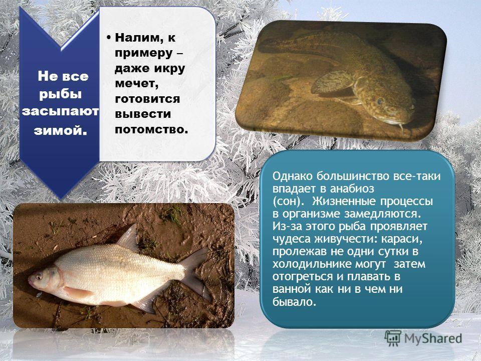 Не все рыбы засыпают зимой. Налим, к примеру – даже икру мечет, готовится вывести потомство. Однако большинство все-таки впадает в анабиоз (сон). Жизненные процессы в организме замедляются. Из-за этого рыба проявляет чудеса живучести: караси, пролежа