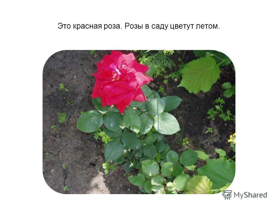 Это красная роза. Розы в саду цветут летом.